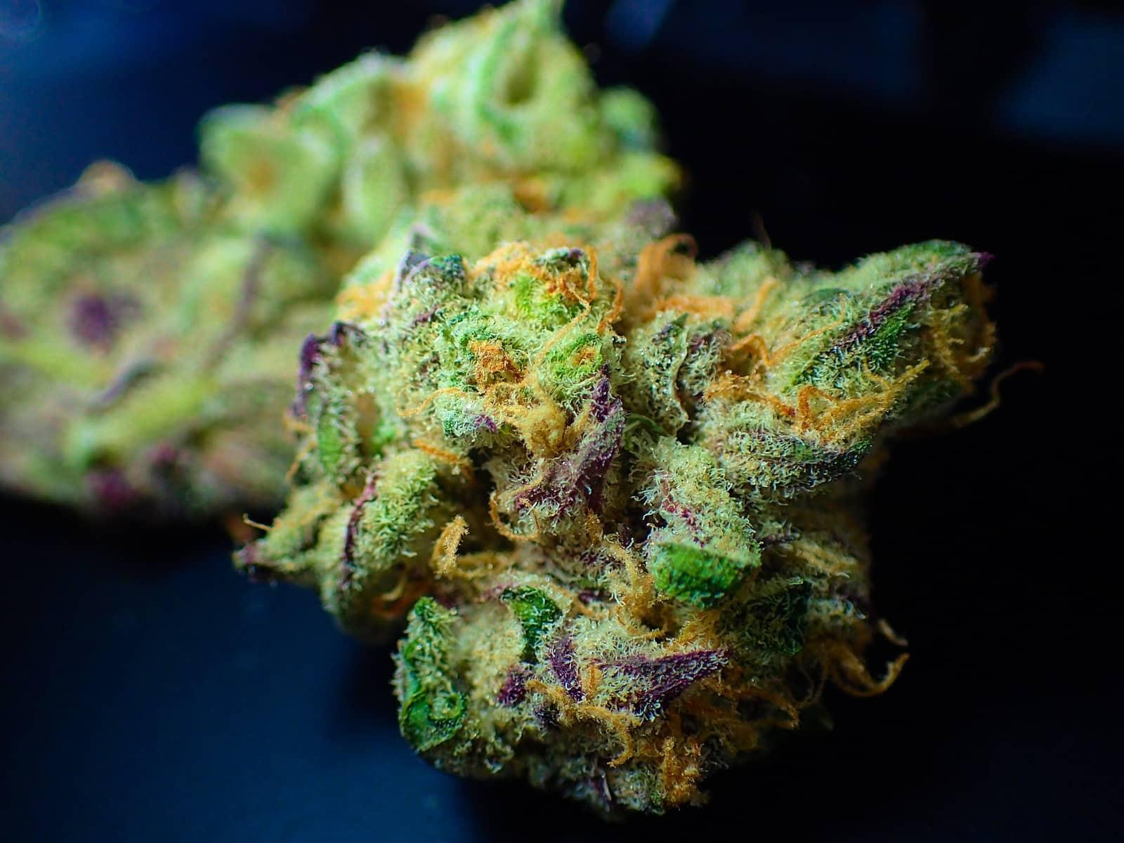 growing dagga Cannabis marijuana weed at home 5