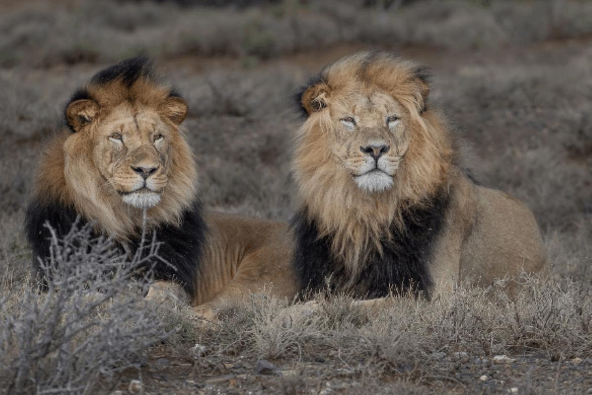 kuzuko lions