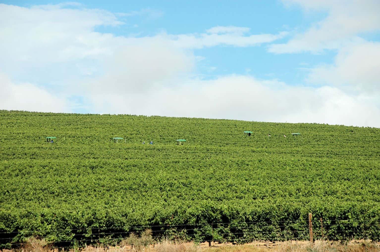 grape harvest wine